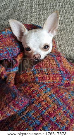 A small white chihuahua dog. Big dog ears