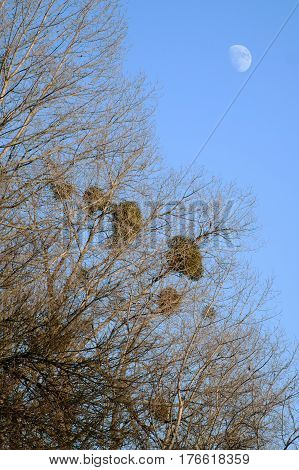 Mistletoe (Viscum album) is a parasite of trees. Here is on poplar trees in autumn around Litovel, Czech Republic