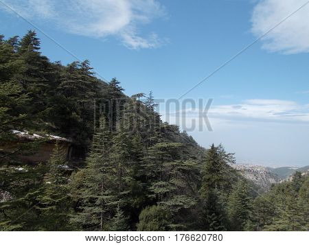 captivating landscape of cedars of Lebanon on the top of high mountains