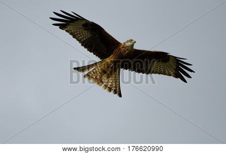 Red Kite bird flying in the sky at Gingrin Farm Rhayader Wales