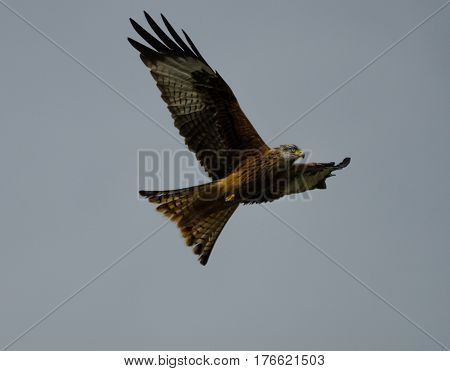 Red Kite bird flying in the sky at Gigrin Farm Rhayader Wales