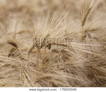 Background Of Ripe Wheat Ears In The Cultivated Field