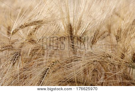 Yellow Wheat Ears In The Field Cultivated