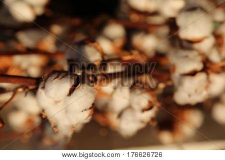 Tufts Of White Cotton On The Intensive Cultivation Of Cotton Pla