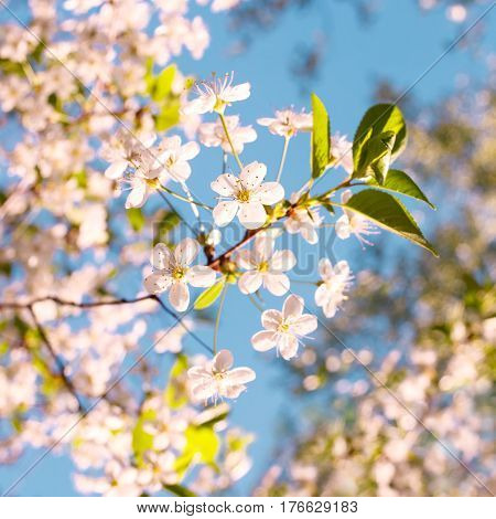 Beautiful apple tree branch with sun. Beautiful apple tree branch. Blossom tree over nature background/ Spring flowers/Spring Background