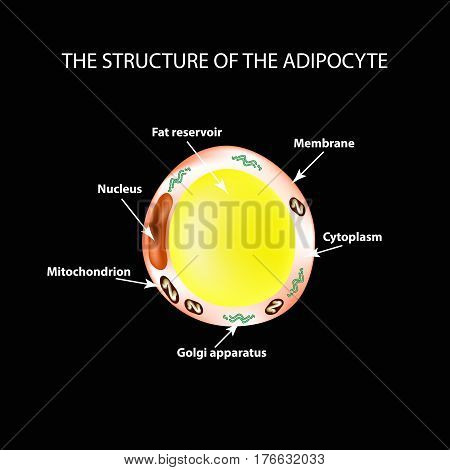 The anatomical structure of the fat cells. Adipocyte. Infographics. Vector illustration on a black background.