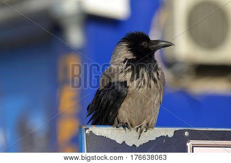 Hooded crow (Corvus cornix) on the market in Kiev.Background - commercial advertisement.March 13 ,2017 in Kiev, Ukraine
