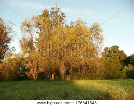 In a san Jose park in late afternoon, oak and eucalyptus trees have golden leaves