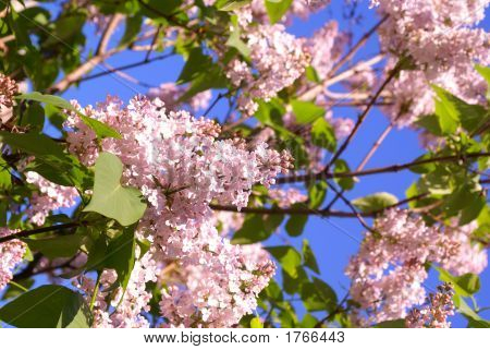 Bushes Of A Lilac...