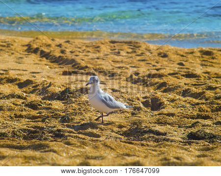 The lovely seagull walking on the beach