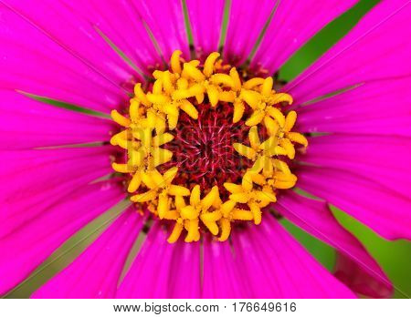 Tropical flower with stamens and petals. Hot pink flower macro photo. Bright pink petals and yellow stamen of blooming daisy. Summer blossom in garden. Floral image for summer background or banner