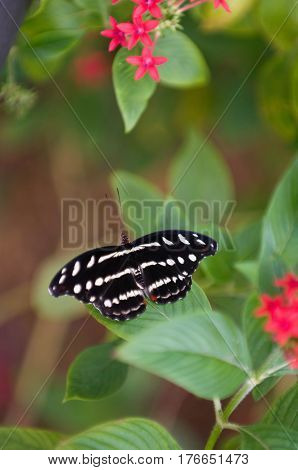 Gracian shoemaker butterfly in nature color image