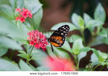 Tiger Longtail Butterfly In Nature, Color Image, Horizontal Image