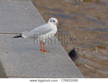 Seagull Baltic. Gdynia, Poland - September 05, 2016 White Seagull on the breakwater sea port in Gdynia.