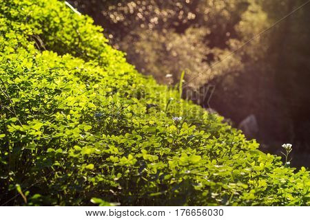 Morning field of green clover plant on the hill, oxalis