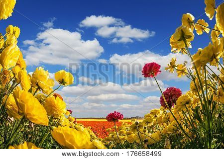 Collage. Concept of rural tourism. The southern warm sun illuminates the flower fields of red and yellow garden buttercups- ranunculus. Wind drives cumulus clouds