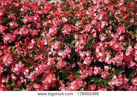 New Guinea impatiens bloom in a garden in Joliet, Illinois during September.