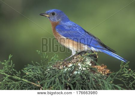 A male Eastern Bluebird, Sialia sialis atop a branch near the forest edge