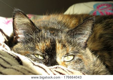 Two-toned ginger and black tortoiseshell calico cat sleeping on bed camouflage blanket