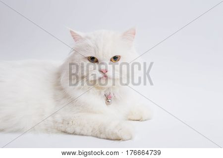 White Persian cat On a white background