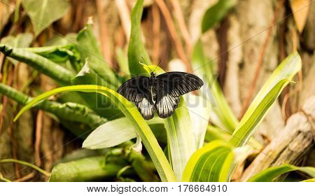 Beautiful black and white butterfly on a leaf in a garden