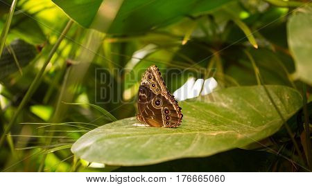 Beautiful ringlet butterfly on a big leaf in the Butterfly House in Vienna