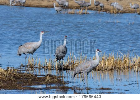 Greater sandhill cranes during their migration in Colorado.