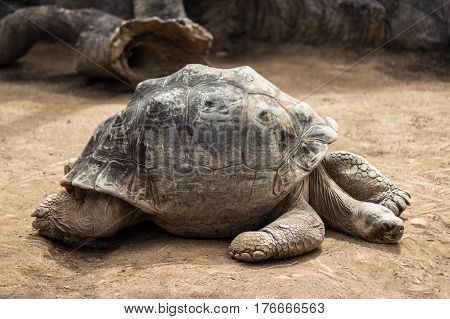 Very Old And Big Tortoise , Galapagos Tortoise