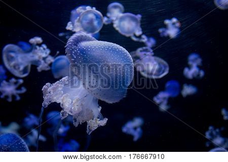 Many Blue Jellyfishes - Spotted Jellyfish