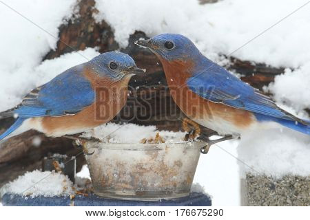 Male Eastern Bluebirds (Sialia sialis) perched on a feeder in snow