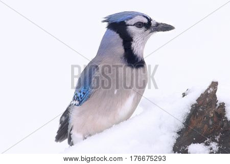 Blue Jay (corvid cyanocitta) in winter with snow