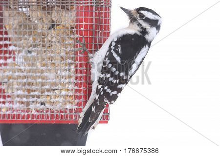 Female Downy Woodpecker (Picoides pubescens) on a suet feeder with a white background