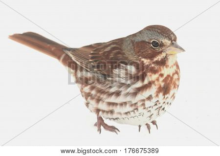 Fox Sparrow( Passerella iliaca) on white in snow