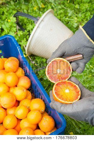 Orange harvest time: picker holding a torocco oranges split in two