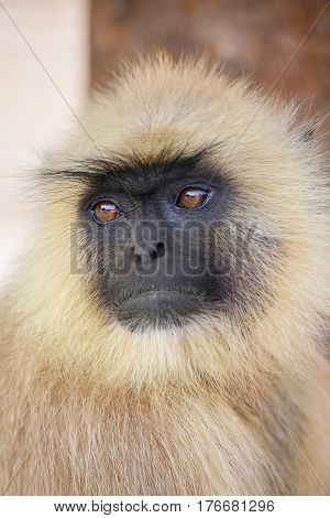 Portrait of gray langur sitting in Amber Fort near Jaipur Rajasthan India. Gray langurs are the most widespread langurs of South Asia. poster