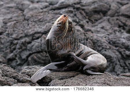 Galapagos Fur Sea Lion On Santiago Island, Galapagos National Park, Ecuador