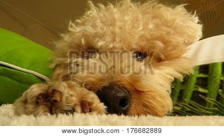 Close-up of poodle dog nose cute animal pet fluffy curly face cushions paw