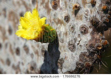 Close-up Of Galapagos Prickly Pear Flower On Rabida Island, Galapagos National Park, Ecuador