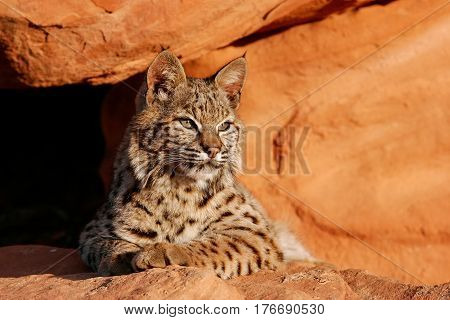 Bobcat Lying On Red Rocks