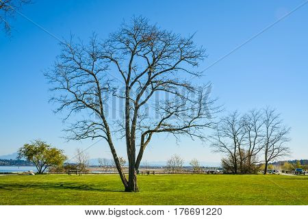 Lonely leafless tree on ocean shore. Peace of mind view on a bay in British Columbia Canada