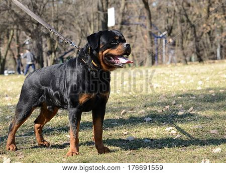beautiful rottweiler dog posing
