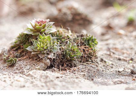 Jovibarba Plants In The Stone Garden