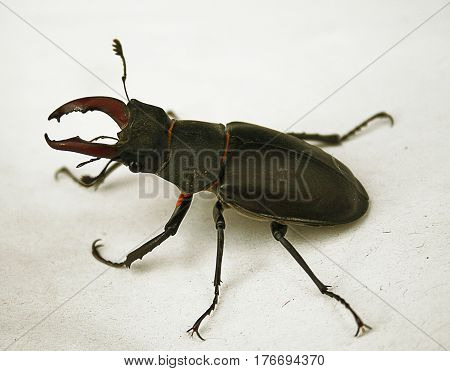 Black and brown stag-beetle on a white background. Big black beetle with antennae and red body parts