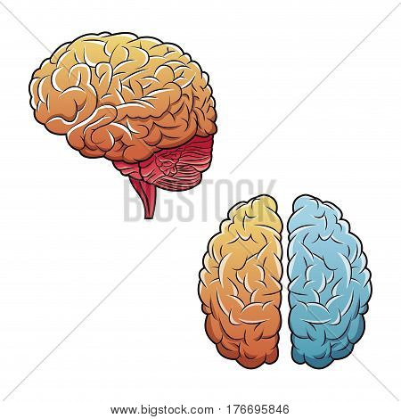 human brains top view and side vector illustration eps 10