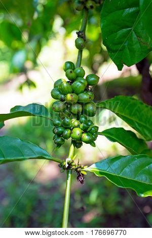 Green Coffee Beans on the Branch in Bali Indonesia