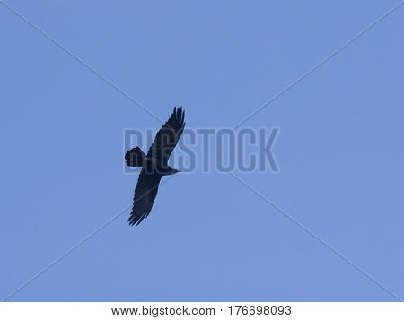 Raven Corvus Corax in flight against a blue sky selective focus shallow DOF.