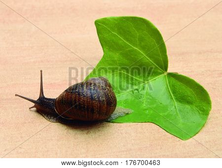 The march of the snail Snail moving out of its shell.