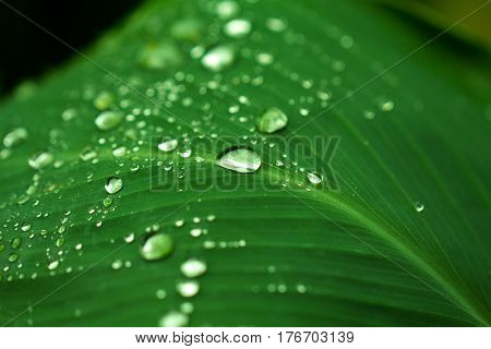 Rain drops closeup. Garden plant leaf after the rain. Morning dew on leaf. Hydration and fresh look concept image. Exotic greenery macro photo shot. Tropical nature in rain season. Summer freshness