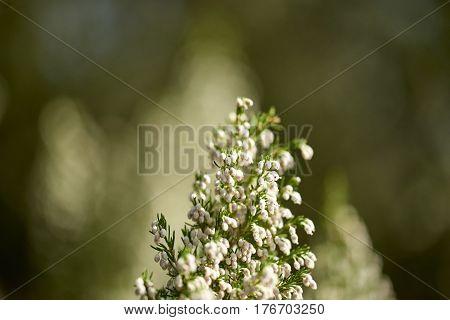 Detail Of Erica Flower