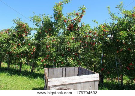 Large wood crate in apple orchard, used to store apples once picked from trees in the field.